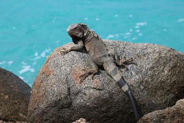Leguan auf Aruba