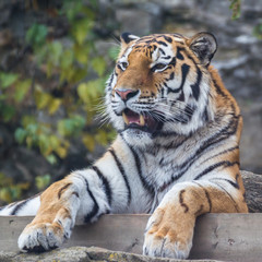 The amur tiger.