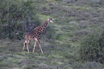 Giraffe, South Africa