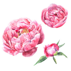 Watercolor hand drawn illustration. Peony flower set isolated on white background