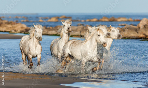 quotgroup of white camargue horses galloping along the beach