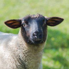 Sheep in the field, eating grass, funny head