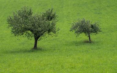 Apple trees in a beautiful Austrian meadow