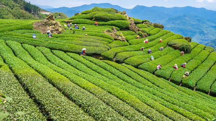 The workers collect tea leaves in the Tea plantation on a good day Wall mural