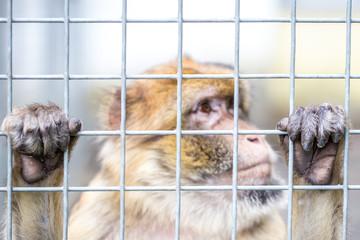Trauriger Affe hinter Gittern