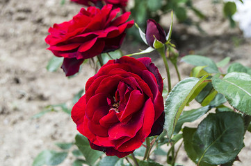 red roses for lovers day, Roses, roses for the day of love, the most wonderful natural roses suitable for web design, love symbol roses