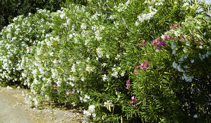 Oleander white flower Trees