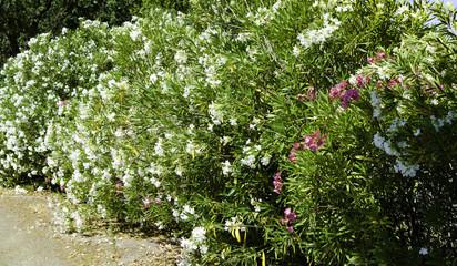 Oleander white flower Trees
