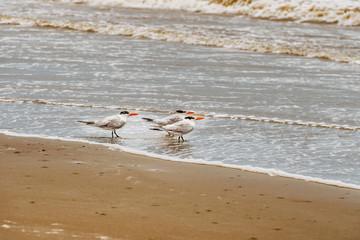 Royal Tern, Thalasseus maximus at the beach in Panama