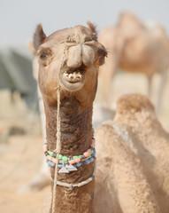 Camel at the fair. Close up of muzzle. India, Pushkar