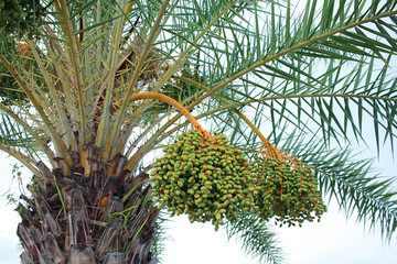 Green dates on a palm tree