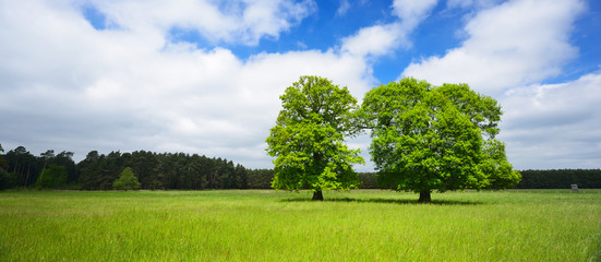 Two Mighty Oak Trees on Meadow in Spring, fresh green leaves