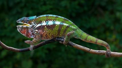 Foto op Aluminium Kameleon Chameleon Furcifer pardalis Antalaha angry male panther chameleon
