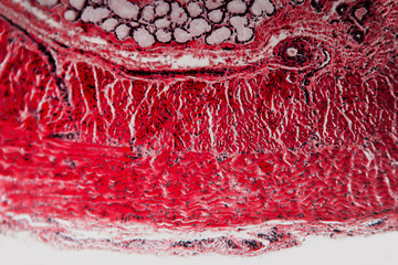 Cell microscopic cross-section esophagus dog