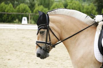 Side view closeup of a beautiful norwegian dressage horse