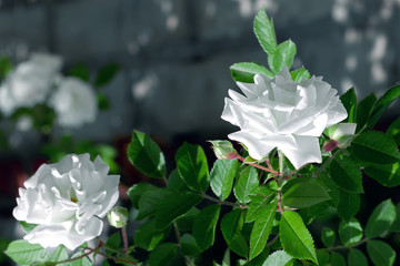 White rose flower with green leaf  on the blur background