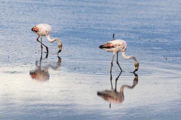 Flamingi, Laguna Nimez, El Calafate, Argentyna