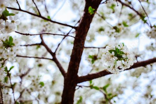 Flowering fruit trees bloom in the garden with white flowers stock flowering fruit trees bloom in the garden with white flowers mightylinksfo