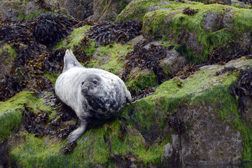 Grey seal, Firth of Forth, Scotland