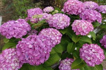 Fond de hotte en verre imprimé Hortensia 紫陽花