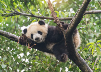 Autocollant pour porte Panda Giant panda baby over the tree.