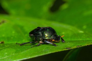 Amazonian scarab beetle over a green leaf inside of the amazon rainforest in Cuyabeno National Park, in Ecuador