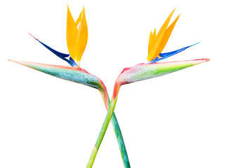 bright color Flower bird of paradise isolated