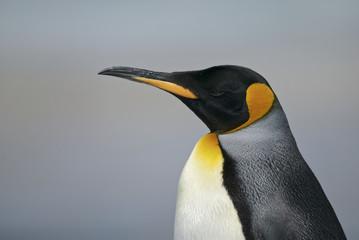 Fotobehang Pinguin King Penguin (Aptenodytes patagonicus)