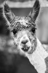 Alpaca in a field. Black and White