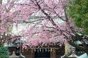 Sakura in the tample