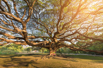 Big giant tree in public park with sunligth effect, natural landscape background