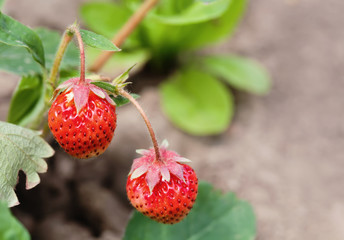 Ripe red strawberries growing field. Garden berry macro view. shallow depth of field, soft selective focus.