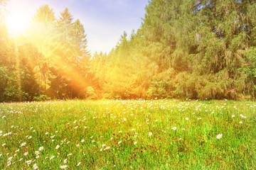 Sommerwiese mir Margeriten im Sonnenschein