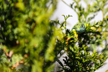 The lizard camouflaged in nature