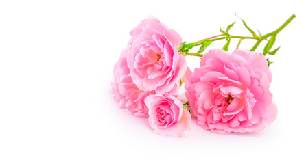 Branch pink roses. Bunch flower with bud and copyspace, isolated