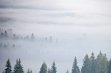 landscape with fog and spruce forest in the mountains