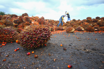 Harvested oil palm fruits with workers in background