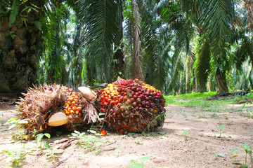 Harvested oil palm fruits in oil palm plantation Wall mural