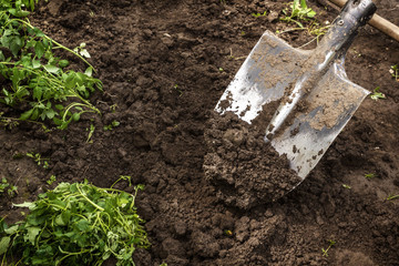 Shovel digs the ground for seedlings. garden tools
