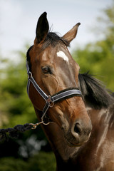 Head shot of a sporting horse against green background