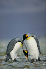 King Penguin (Aptenodytes patagonicus) performing a courtship ritual song