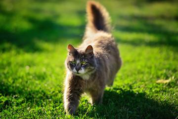 Brown long-hair cat walking on grass