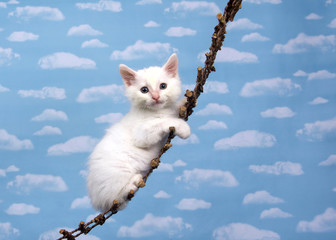 One small white kitten on a wood hanging ladder looking directly at viewer, sky background with many white fluffy clouds.