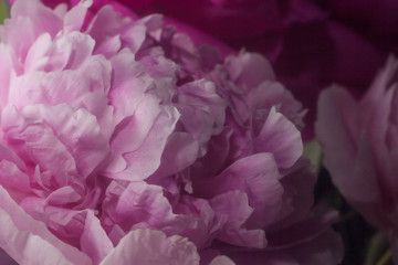 pink peonies closeup