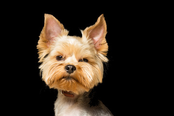 dog breed Yorkshire Terrier after a haircut, a close-up portrait is isolated  a black background