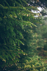 Raindrops on green fir-tree branch. Fir-tree needles and rain drops. Vertical close-up of morning dew on fir tree branches with forest in the background. Rainy weather concept