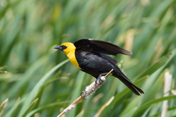 Yellow-headed Blackbird Sitting on a Cat Tail