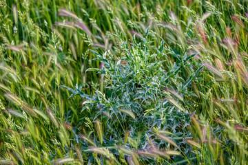 Thistle and false barley