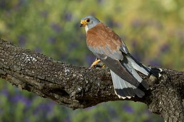 Lesser Kestrel (Falco naumanni), male.