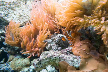 Underwater view of clownfish and anemone, close up marine scene.